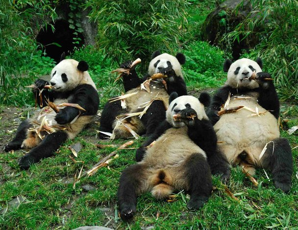 Pandas eat bamboo at China Giant Panda Protection and Research Centre in Wolong
