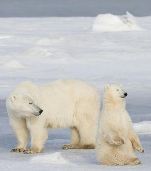 churchill manitoba canada - polar white bears