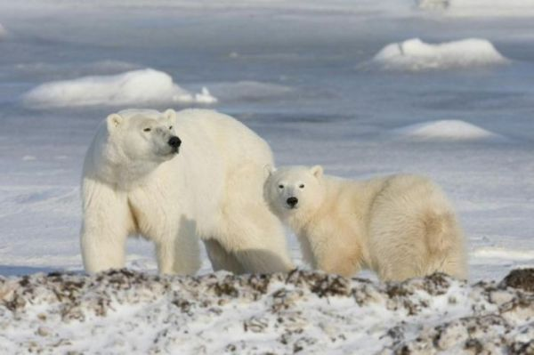 wapusk national park - white polar bears