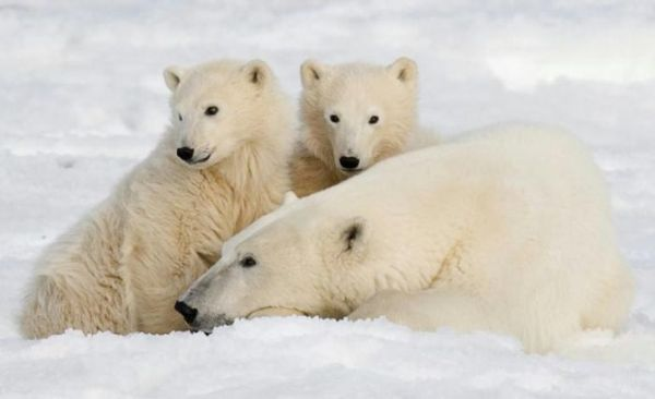 global warming causes polar bears extinction