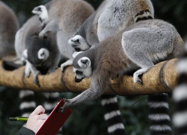 лемуры ring-tailed lemurs