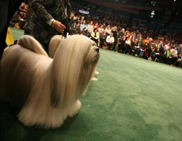 132westminster_kennel_club_dog_show05.jpg