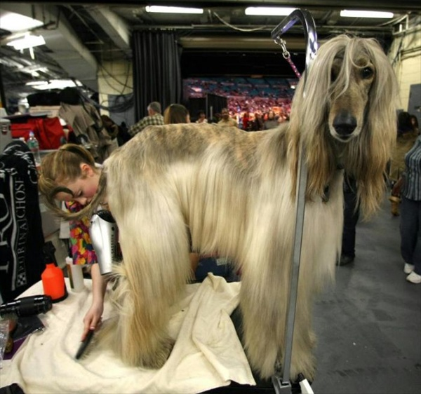 132westminster_kennel_club_dog_show14.jpg