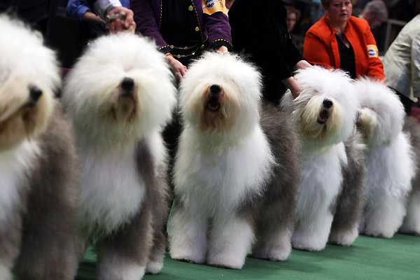 собаки на выставке westminster kennel club в нью-йорке