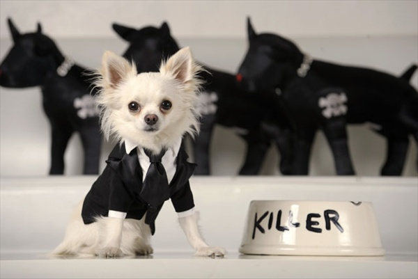 killer chihuahua rocco at little lily pet fashion label in los angeles