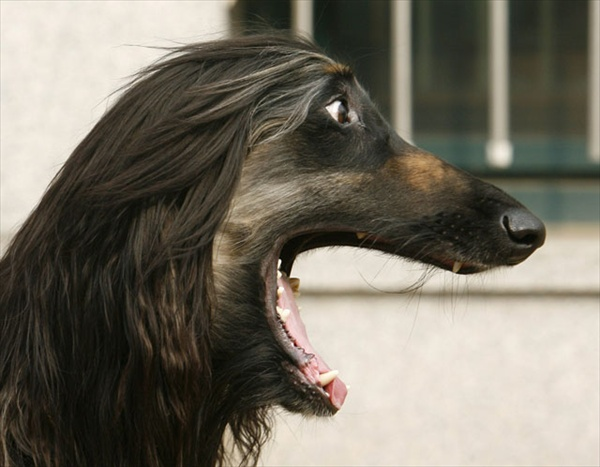 Snuppy the Afghan Hound, the world's first dog cloned
