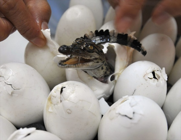 worker helps a baby crocodile out of its shell at Sriracha Tiger Zoo
