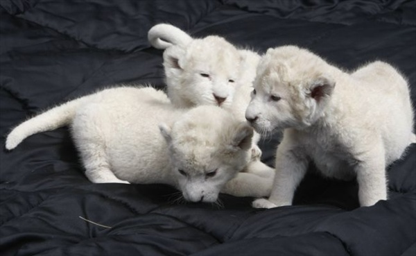 three_white_lion_cubs02.jpg