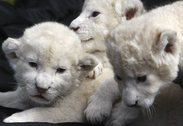 three_white_lion_cubs04.jpg
