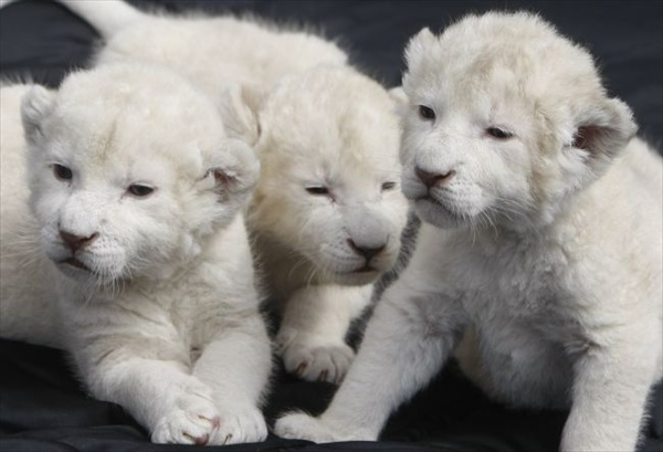 three_white_lion_cubs06.jpg