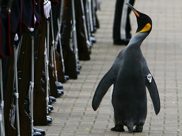 nils_olav_penguin_knighted04.jpg