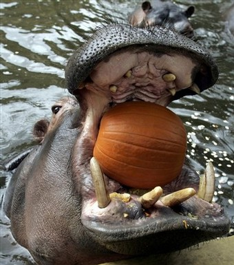 Six-year-old Hippo Kavanga is tossed a pumpkin to eat at the zoo in Cologne, Germany