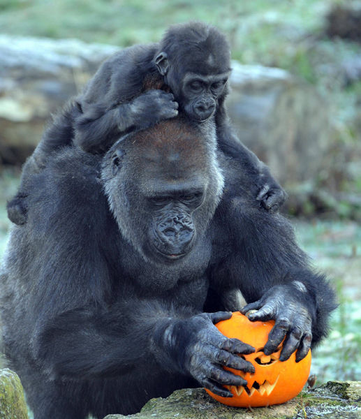 halloween_pumpkin_and_gorillas_bristol_zoo_gardens.jpg