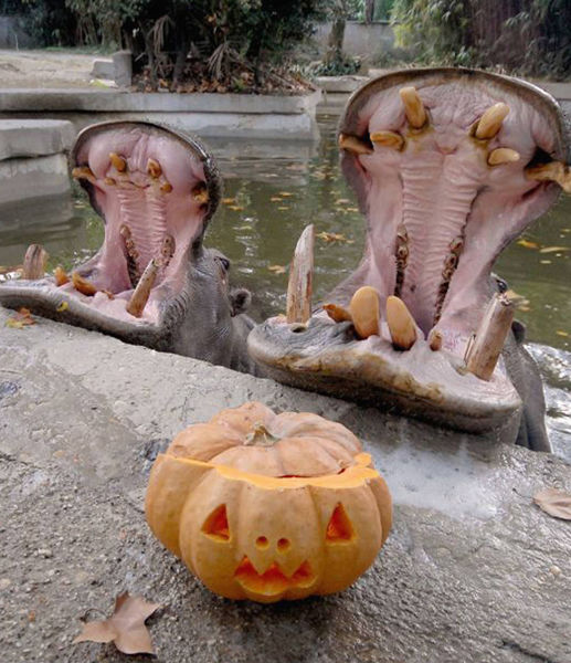halloween_pumpkin_and_hippos_rome_bioparco_zoo.jpg