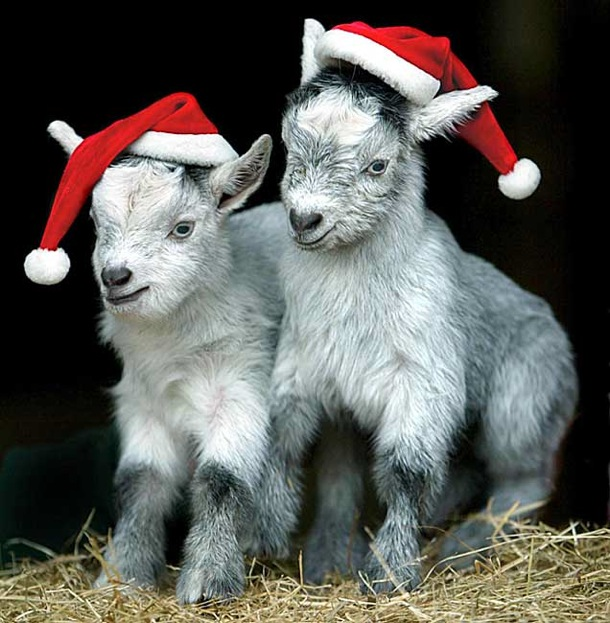 christmas_african_goat_kids_crealy_adventure_park_exeter_england.jpg