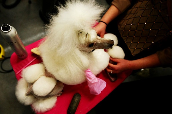 westminster_kennel_club_dog_show06_poodle_dolly.jpg