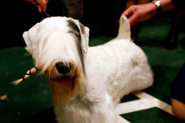 westminster_kennel_club_dog_show10.jpg