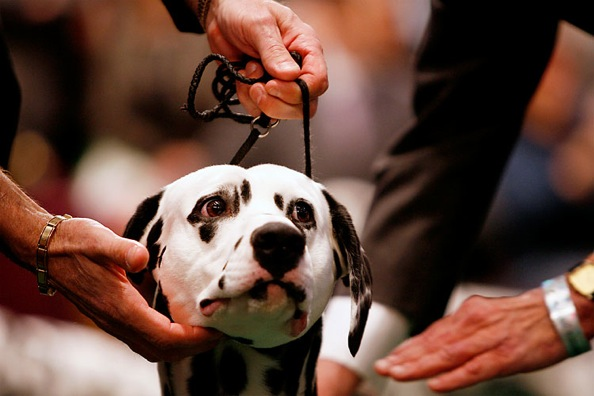 westminster_kennel_club_dog_show14.jpg