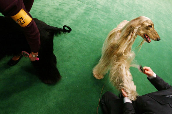 westminster_kennel_club_dog_show30.jpg