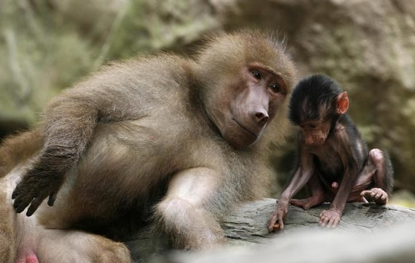 baboons_in_singapore_zoo.jpg