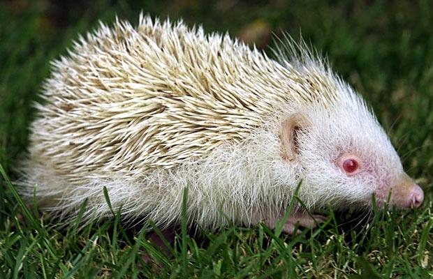 albino_hedgehog.jpg