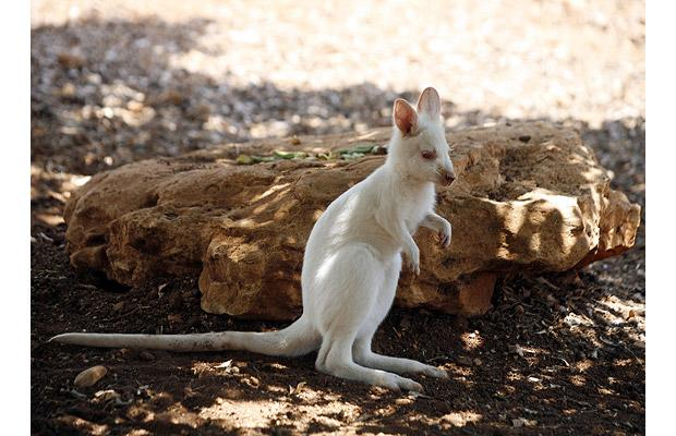 albino_wallaby.jpg