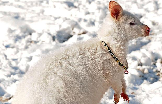 albino_wallaby2.jpg