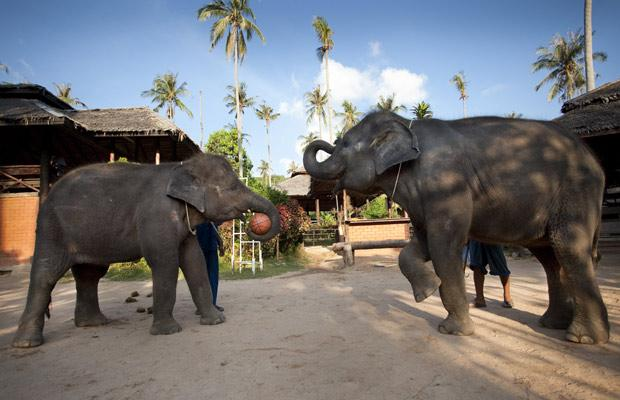 Elephants play basketball in Thailand