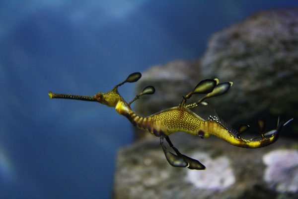 Weedy_Sea_Dragon_3_by_KathyHW_deviantart.jpg