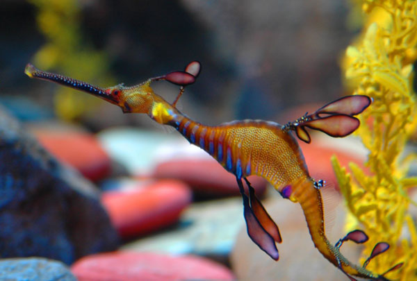 weedy_sea_dragon_by_celticdragonfyre_deviantart.jpg
