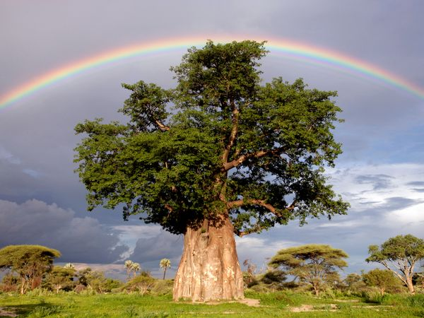 Rainbow Over Baobab Tree by Beverly Joubert.jpg