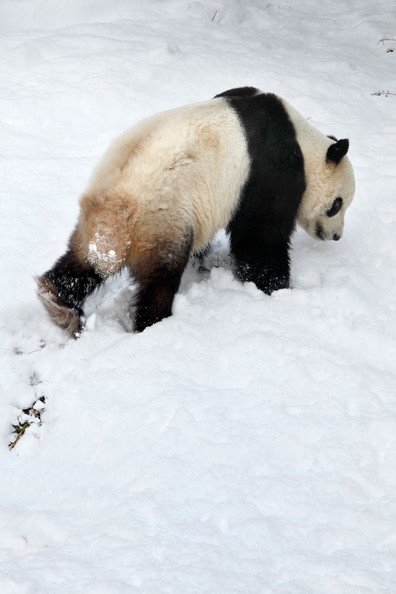 Panda+Tai+Shan+Plays+Snow+Last+Day+Zoo+Before+7OZRFm4CGDFl.jpg