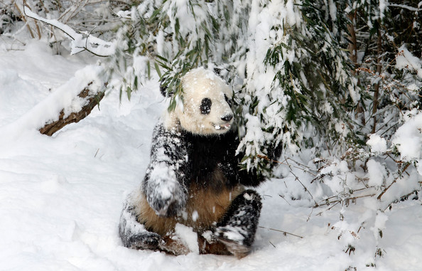 Panda+Tai+Shan+Plays+Snow+Last+Day+Zoo+Before+M52pGOoVPpXl.jpg
