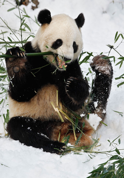 Panda+Tai+Shan+Plays+Snow+Last+Day+Zoo+Before+SeYMi4eOLsjl.jpg