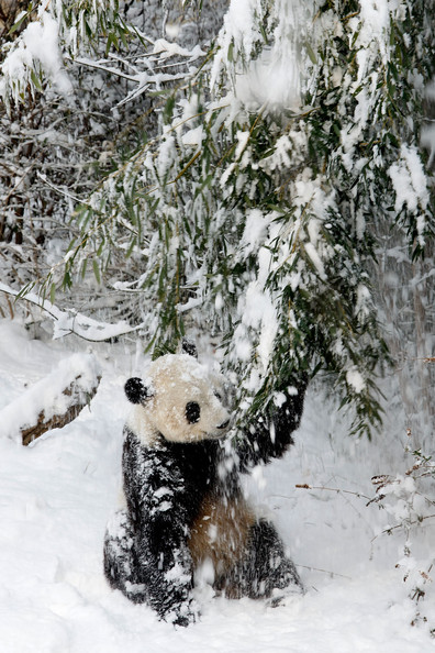 Panda+Tai+Shan+Plays+Snow+Last+Day+Zoo+Before+eEnpR6qcD3-l.jpg