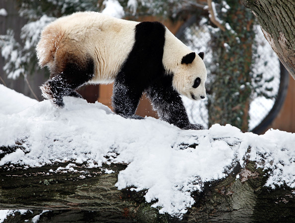 Panda+Tai+Shan+Plays+Snow+Last+Day+Zoo+Before+hxD9cB1Z_wdl.jpg