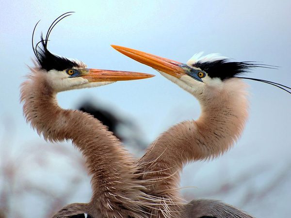 two-blue-herons_17799_990x742.jpg
