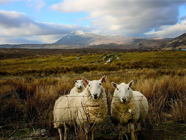 three-sheep-scotland_21024_990x742.jpg