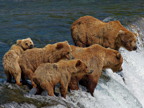 grizzly bear family fishing Медведи гризли