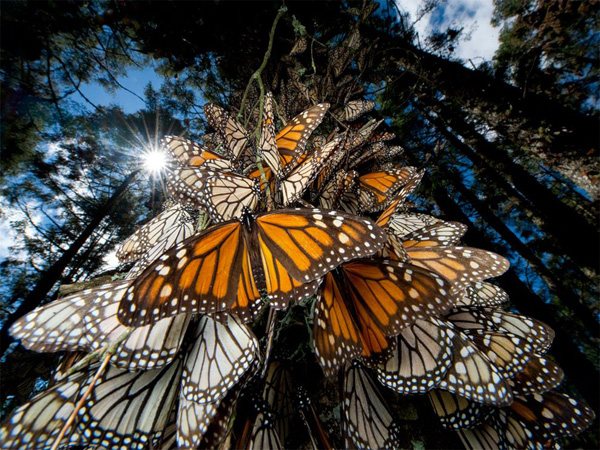 monarch-butterflies-mexico_28112_990x742.jpg