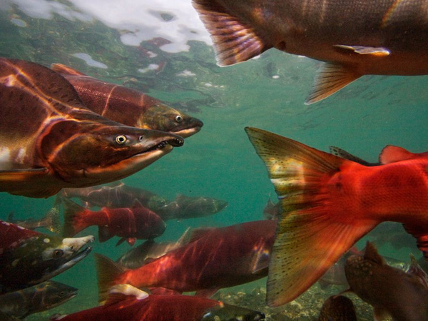 pacific-salmon-migrating_28113_990x742.jpg