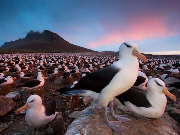 black-browed-albatross-colony_28382_990x742.jpg