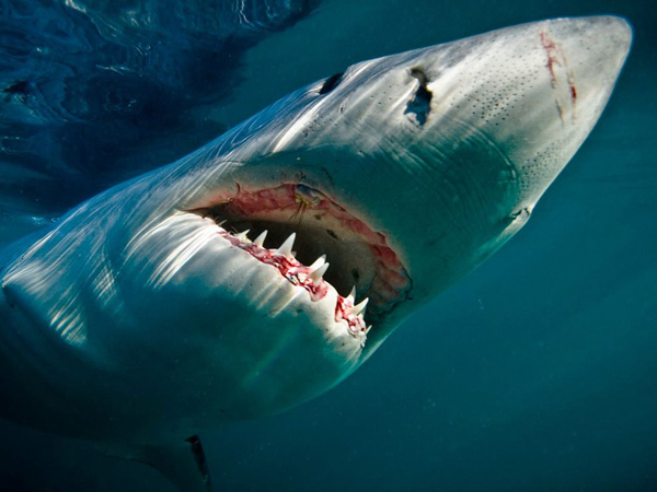 great-white-shark-underwater_28388_990x742.jpg
