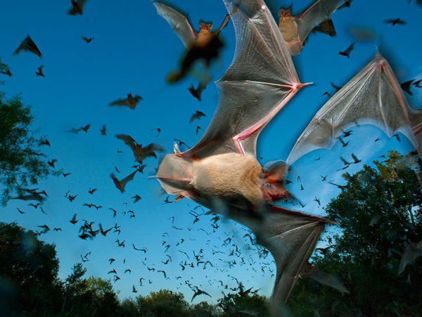 mexican-free-tailed-bats_28392_990x742.jpg