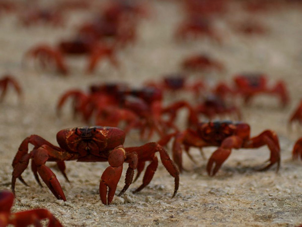 red-crabs-christmas-island_28394_990x742.jpg