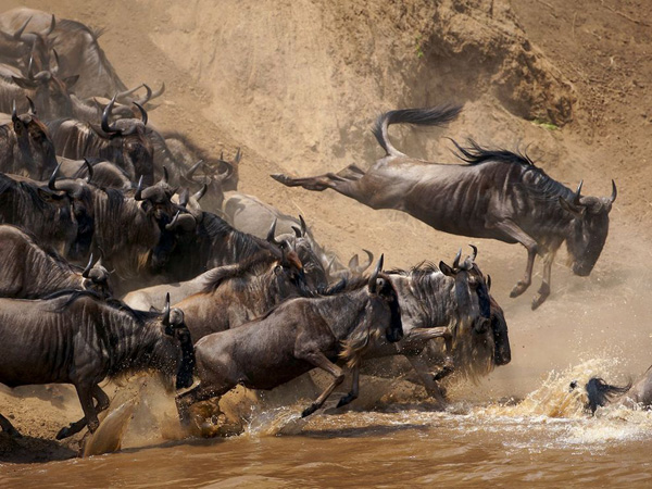 wildebeests-jumping-kenya_28400_990x742.jpg