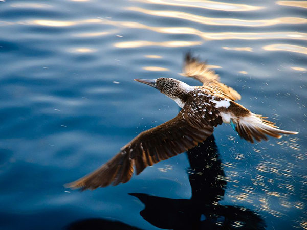 blue-footed-booby-galapagos_28383_990x742.jpg