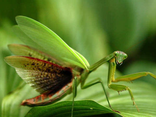 praying-mantis-virginia_28393_990x742.jpg