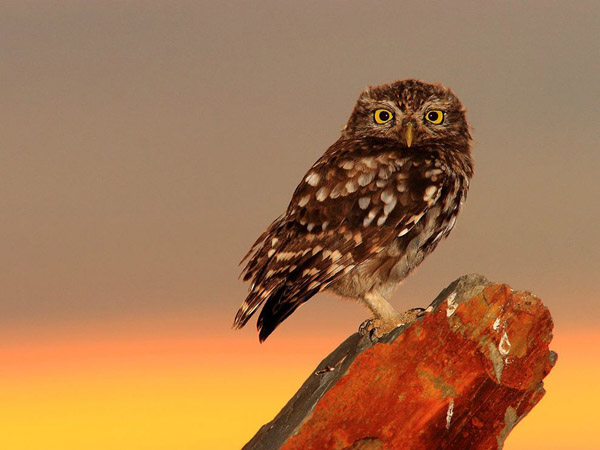 little-owl-spain_30719_990x742.jpg