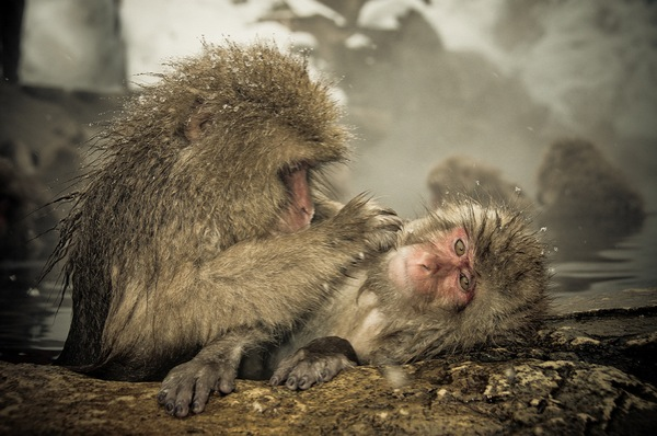 snow_monkeys-04.jpg